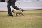 Taj Kennel Club 2012 | ex-26,pug,sw-51,