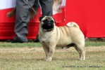 Taj Kennel Club 2012 | ex-31,pug,sw-51,