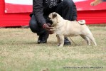 Taj Kennel Club 2012 | pug,sw-51,