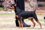 Taj Kennel Club 2012 | ex-3,minpin,sw-51,