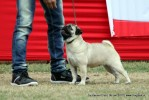 Taj Kennel Club 2012 | ex-6,pug,sw-51,