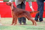 Taj Kennel Club 2012 | ex-74,irish setter,sw-51,