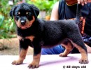 THREE COUNTRY CHAMPION\'S PUPS 4 SALE |