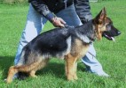 Trax Niemberger Eck by SHERGILL KENNELS |