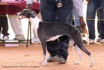 Trivandrum Dog Show 14th Oct 2012 | ex-82,sw-59,whippet,
