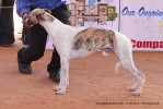 Trivandrum Dog Show 14th Oct 2012 | sw-59,whippet,