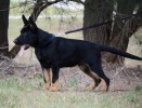 Von Forell International Working German Shepherds | german shepherd, von forell, kris kotsopoulos, working german shepherds
