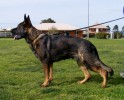 Von Forell International Working German Shepherds | von forell international working german shepherds