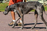 Great Dane for Adoption