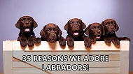 35 reasons why Labrador Retrievers make your heart skip a beat