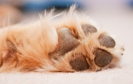 Caring for Your Dogs Paws