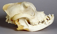 It's all in the head - A detailed insight into Dog Skulls