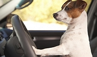 12 Reasons Why You Should Never Let Your Dog Drive Your Car! EVER!!