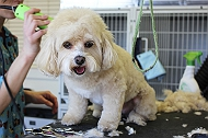Dog Grooming in Chandigarh