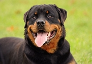 BUSTED: 5 VICIOUS MYTHS ABOUT THE GENTLE ROTTWEILER