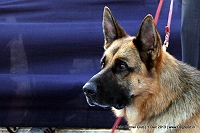 Dog Show | Dog Events | Dog Championship | Kennel Club India