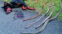 heroic-doberman-dies-fighting-4-cobras-to-protect-his-human-family