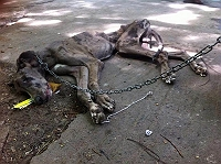 shameful-a-great-dane-left-chained-on-roadside-dies-starving