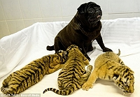 pugs-raise-abandoned-tiger-cubs