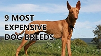 9-most-expensive-dog-breeds-in-the-world