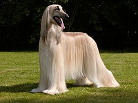 20-dog-breeds-with-runway-perfect-hair