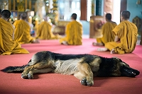 this-dog-prays-with-buddhist-owner-video