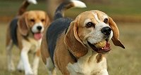 7-reasons-why-should-not-adopt-a-beagle