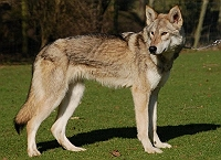 7-dogs-that-look-like-wolves