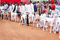 mudhol-hounds-top-dogs-in-indian-dog-breeds-speciality-show