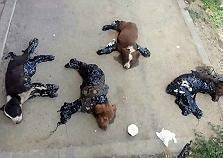 Four Puppies Found Stuck To Ground Cover..