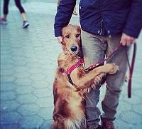 Meet Louboutina, Golden Retriever who gi..