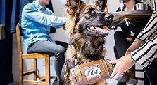 Alsatian Dogs Serve Free Beer And Cheese..