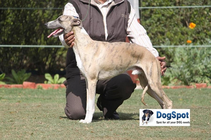 Whippet, image