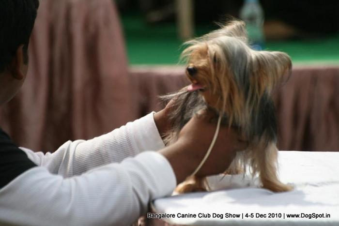 ex-60,sw-12,Yorkshire terrier, image