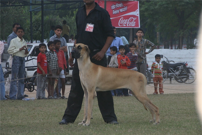 Lineup,Great Dane,, image