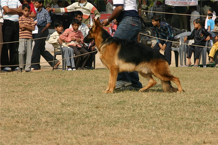GSD, Alsatian, German Shepherd Dog,GSD,Alsatian,German Shepherd Dog, image