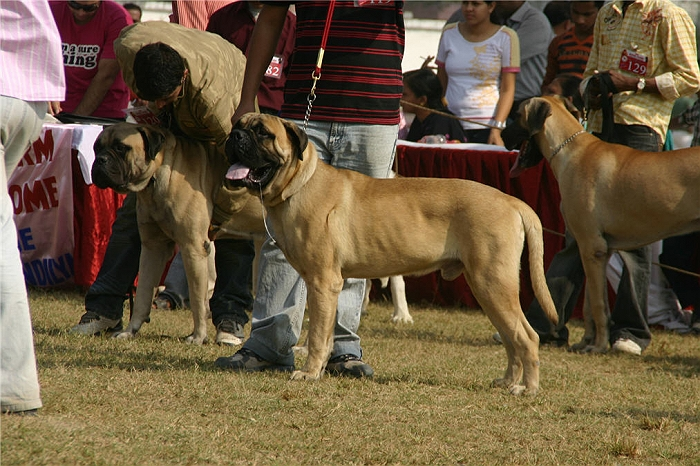 Working Group,Mastiff, image