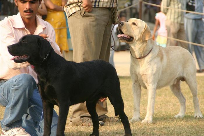 Labrador Retriever,Labrador Retriever,Labrador Retriever,Labrador Retriever,Labrador Retriever,Labrador Retriever,Labrador Retriever,Labrador, image