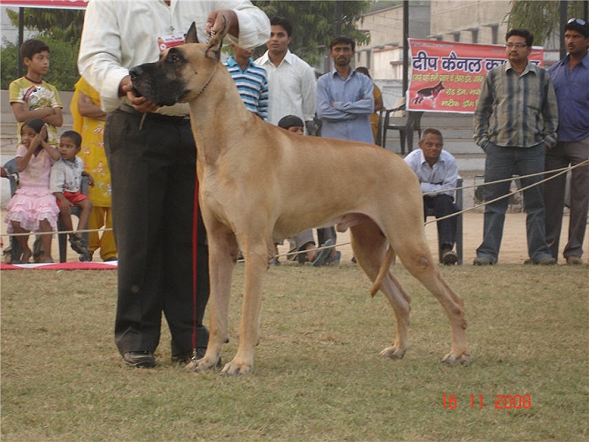 Lineup,Great Dane, image