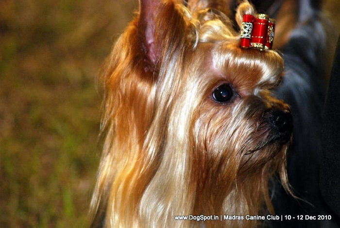 Yorkshire terrier, image