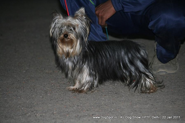 All Breed Championship Dog Show,Yorkshire terrier, image