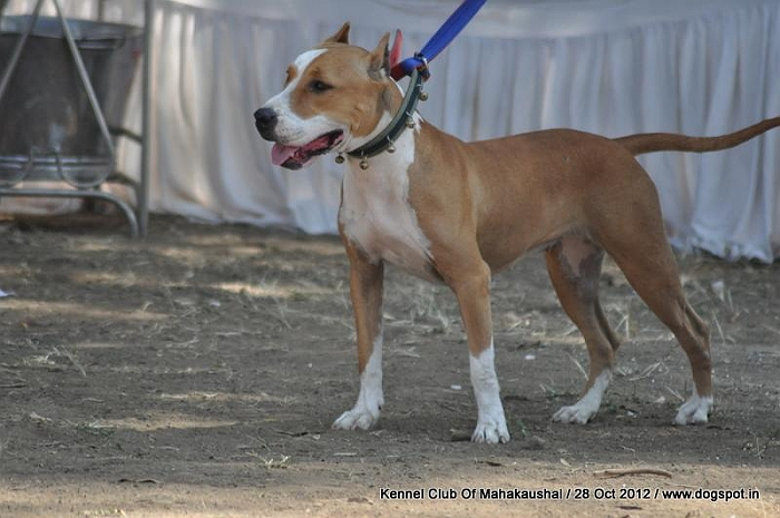 ex-17,Staffordshire Bull Terrier,sw-60, image