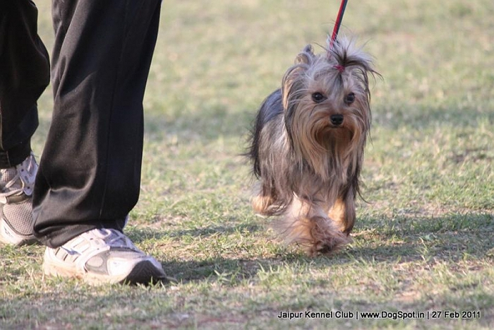ex-41,Yorkshire terrier,sw-34 image