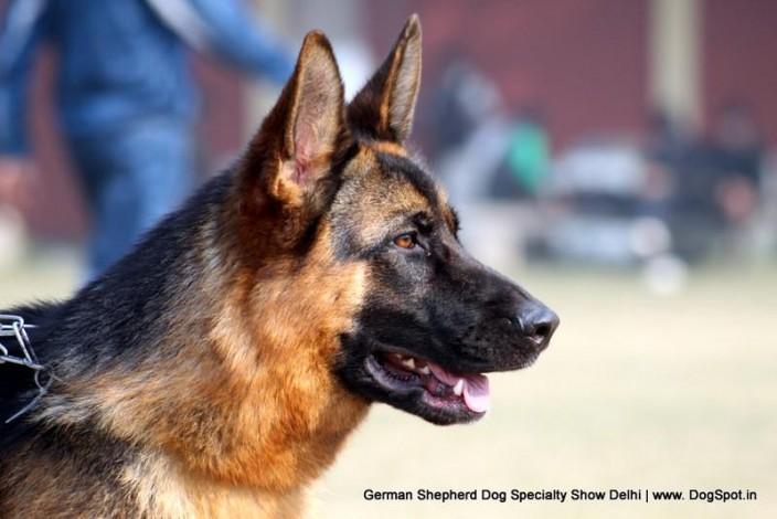 German Shepherd Dog Specialty Show Delhi German Shepherd