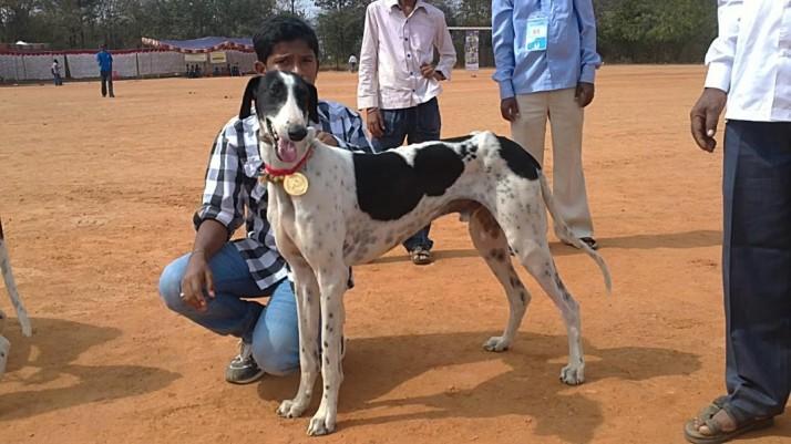 714x470-winner-mudhol-hound.jpg