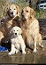 20 Golden Retriever Puppies who were Born for AWWWs!!
