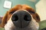 Dogs Senses - Nose: An Insight Into A Dogs Olfactory Senses