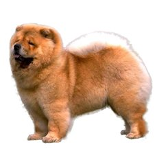 chow chow dog breed information dogspot in