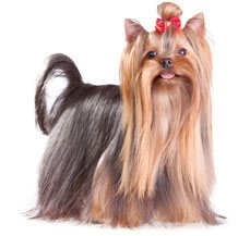 Yorkshire Terrier Dog Breed Information Dogspot In