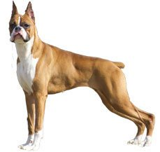 boxer dog breed information dogspot in